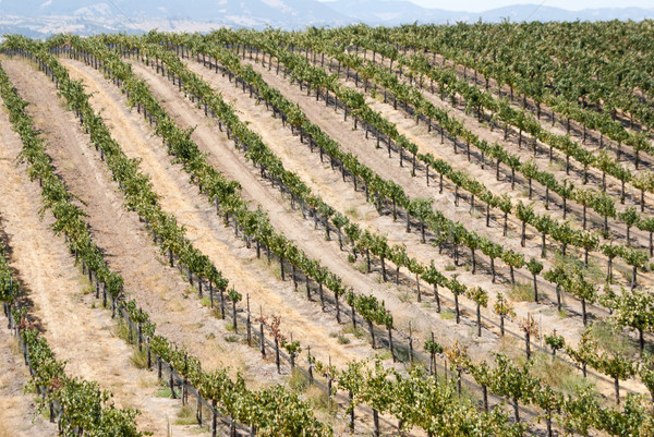 Rows of vines on slope in California Stock photo © emattil