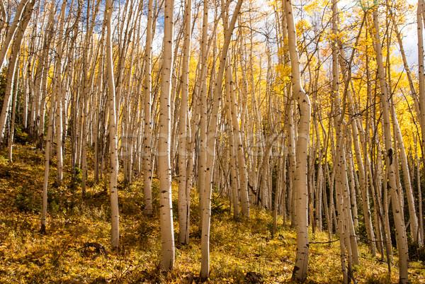 Aspen trees in sunlight Stock photo © emattil