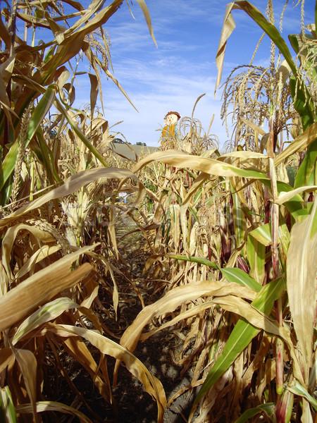 Hasat mısır labirent korkuluk sonbahar tarım Stok fotoğraf © emattil