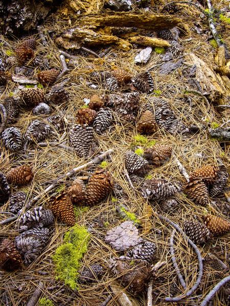 Halı çam yosun orman zemin iğneler Stok fotoğraf © emattil