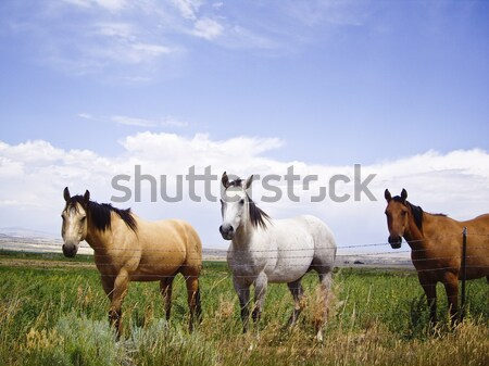 Two Horses, One Brown, One White  Stock photo © emattil