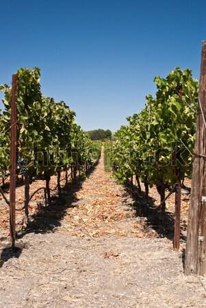 Een lang rij Californië wijngaard wijn Stockfoto © emattil