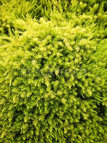 Greens Forever Stock photo © emattil