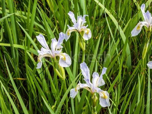 Mojado iris pradera flor Foto stock © emattil