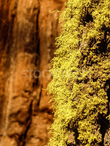 Yellow Moss on an old tree Stock photo © emattil