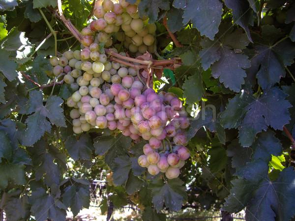 Olgun üzüm asma kırmızı üzüm tarım Stok fotoğraf © emattil