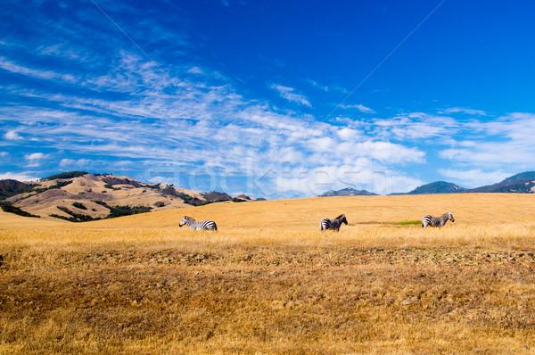 Drie zebra Californië zomer zonneschijn USA Stockfoto © emattil