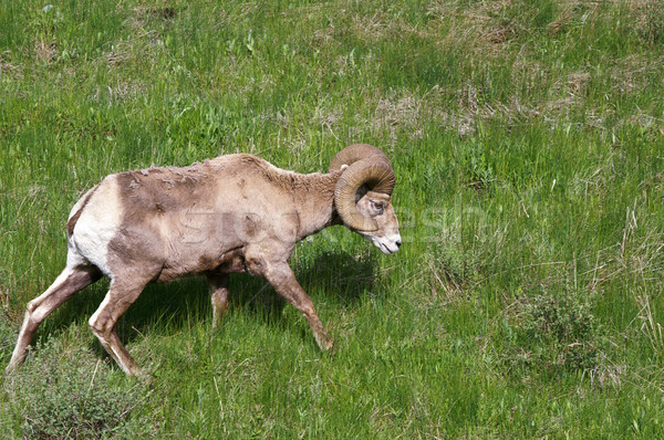 Schapen weide park Wyoming USA natuur Stockfoto © emattil