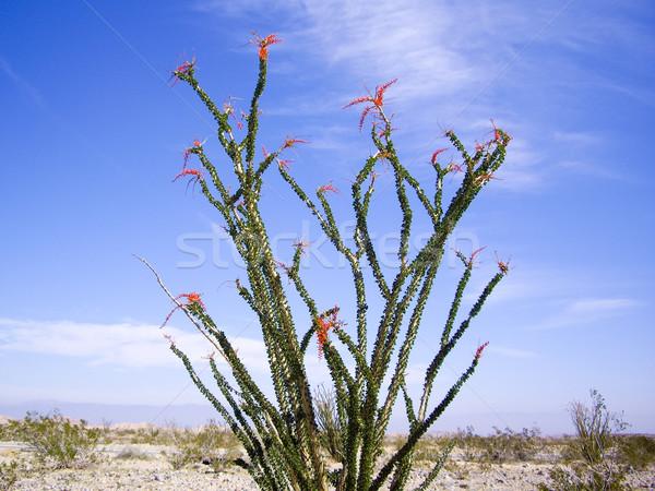 Woestijn bloemen landschap zand cactus buitenshuis Stockfoto © emattil