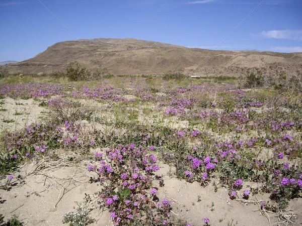 Desert Vista with wildflowers Stock photo © emattil