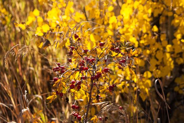 Rood bes bush bessen Geel vallen Stockfoto © emattil
