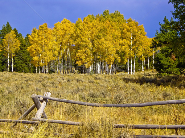 Yellow Aspen Stock photo © emattil