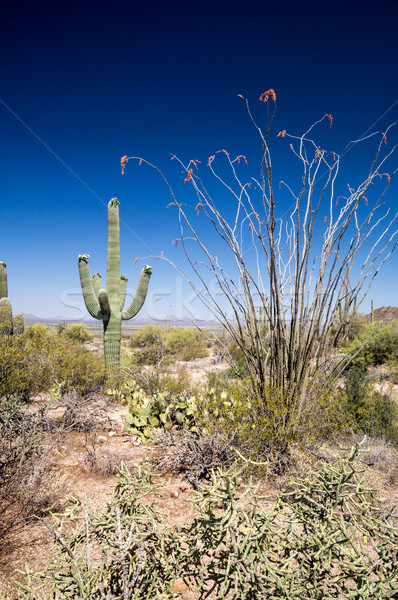 Saguaro Landscape Stock photo © emattil