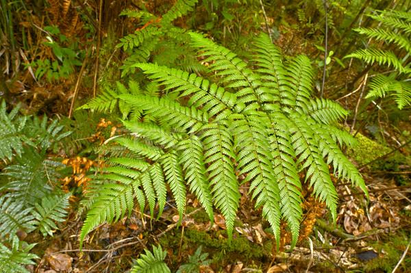 ストックフォト: シダ · 公園 · 北 · 島 · ニュージーランド · 森林
