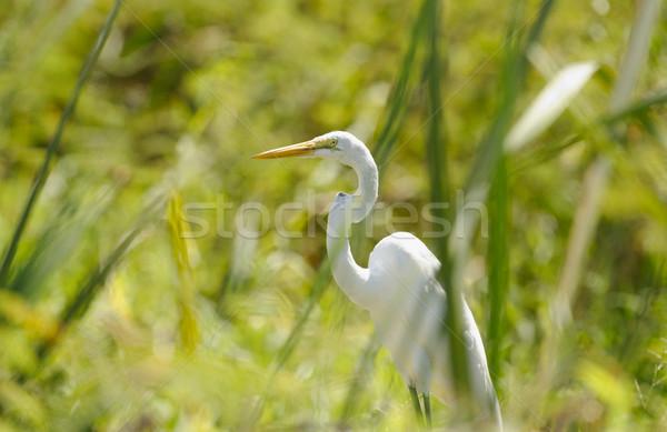 Great Egret hiding between the grass Stock photo © emiddelkoop