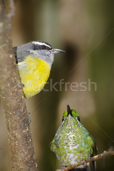 Hummingbird небольшой Коста-Рика зеленый Сток-фото © emiddelkoop