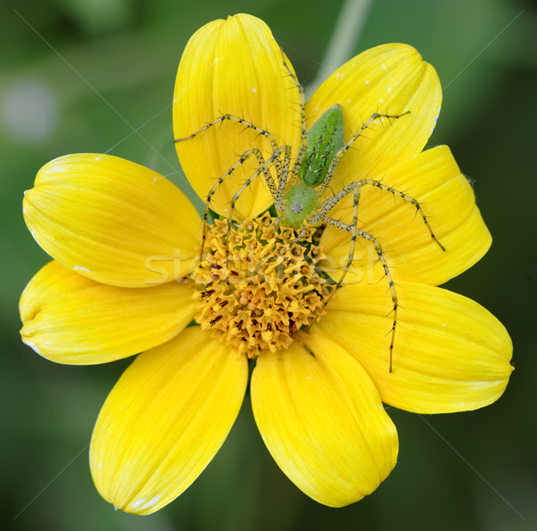 Yellow flower and green spider Stock photo © emiddelkoop