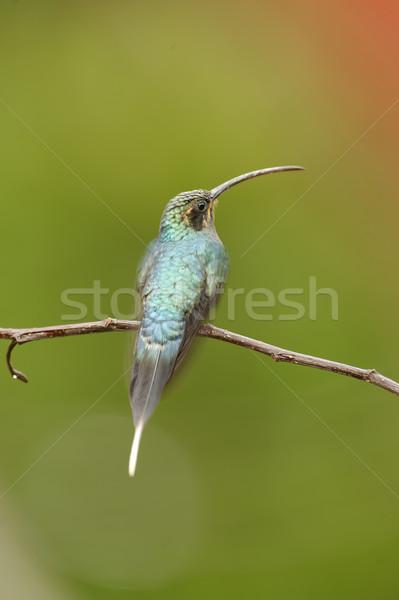 Hummingbird Stock photo © emiddelkoop