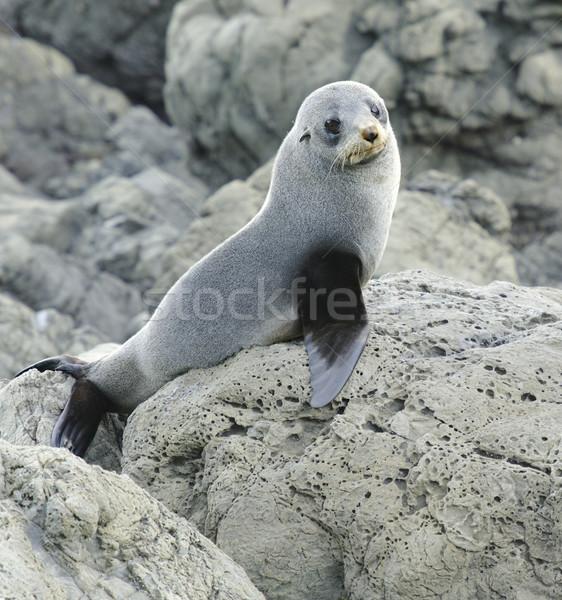 Juvenile Fur Seal Stock photo © emiddelkoop