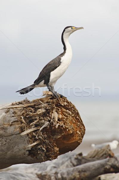 Seabird Stock photo © emiddelkoop