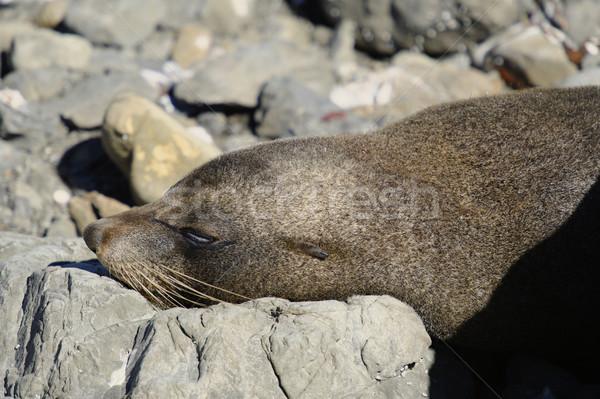Seal Colony, Kaikoura Coast, New Zealand Summer 2011. Stock photo © emiddelkoop