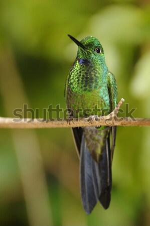 Resting Hummingbird Stock photo © emiddelkoop