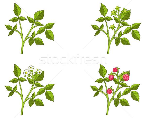 Raspberry growth phases Stock photo © ensiferrum