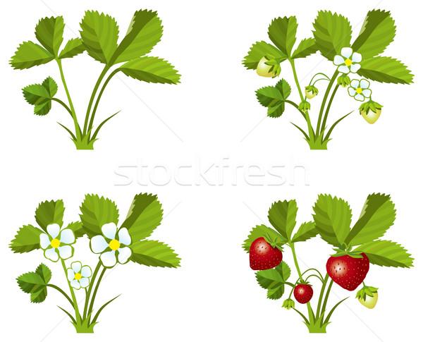 イチゴ 成長 4 芽 花 自然 ストックフォト © ensiferrum