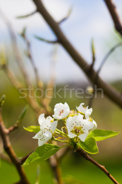 Blooming Pear Tree Flowers on Branch Stock photo © enterlinedesign