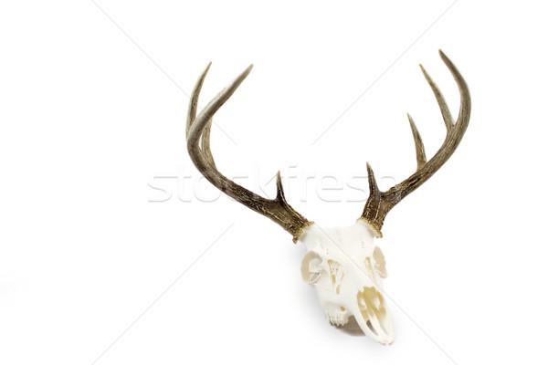 Veado pinote crânio europeu Foto stock © enterlinedesign