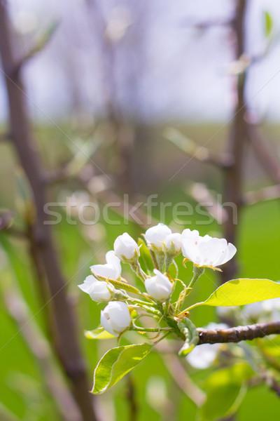 Bloei pruim boom fruitboom Stockfoto © enterlinedesign