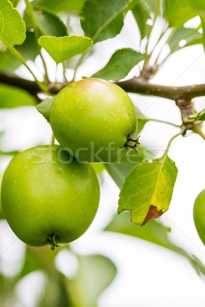 Közelkép zöld citromsárga almák növekvő gyümölcsfa Stock fotó © enterlinedesign