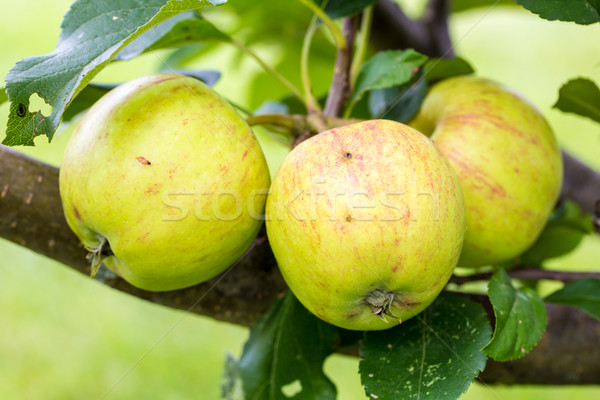 A Closeup of Green and Yellow Apples Stock photo © enterlinedesign