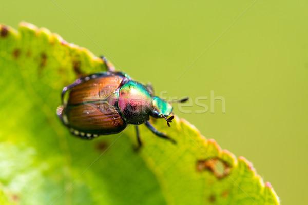 Japanese Beetle Popillia japonica on Leaf Stock photo © enterlinedesign