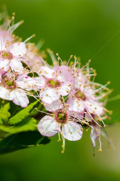 Florescimento arbusto rosa branco Foto stock © enterlinedesign