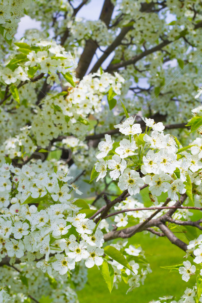Ornamental Pear Tree Blooming Stock photo © enterlinedesign