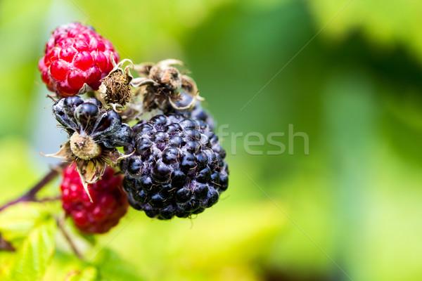 Preto framboesas folha fruto Foto stock © enterlinedesign