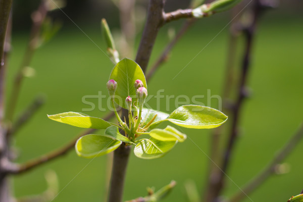 Pear Tree in Bloom Stock photo © enterlinedesign
