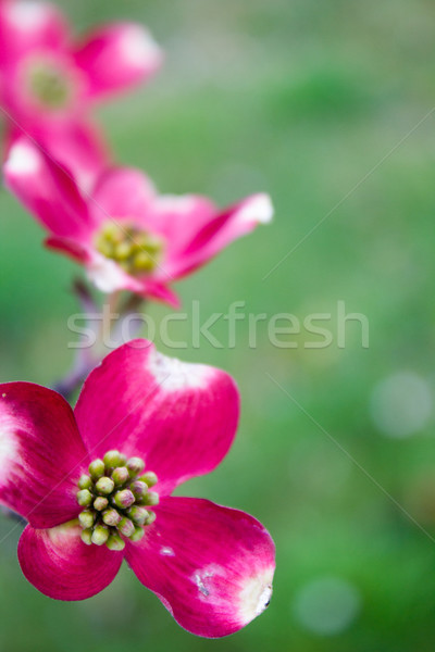 Blooming Dogwood Tree Flowers Stock photo © enterlinedesign