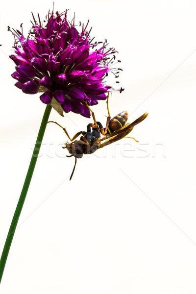 Virág virágzik darázs közelkép évelő méh Stock fotó © enterlinedesign