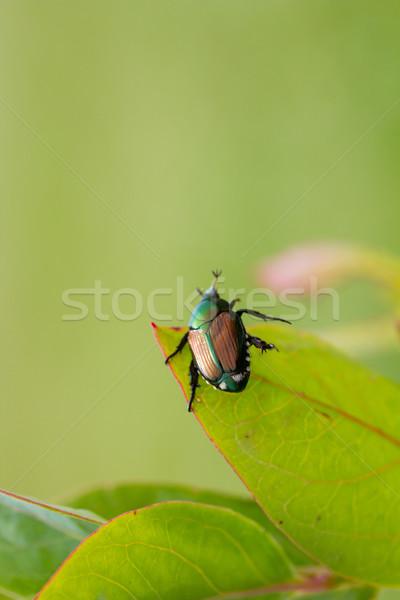 Stock photo: Japanese Beetle Popillia japonica on Leaf