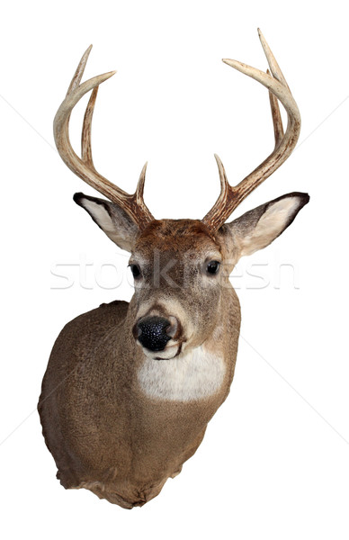 Whitetail Buck Isolated on White Stock photo © enterlinedesign