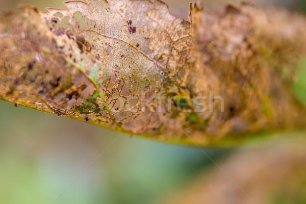 Inseto árvore frutífera folha japonês abstrato Foto stock © enterlinedesign