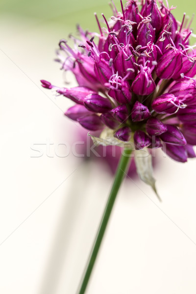 Drumstick Allium Flower Bloom Stock photo © enterlinedesign