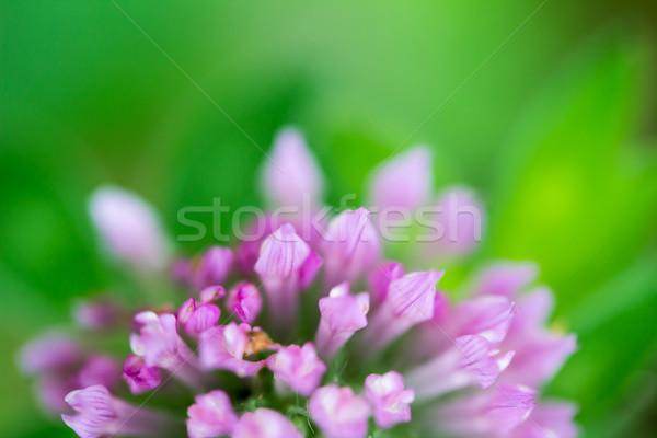 Trifolium pratense Red Clover Flower Stock photo © enterlinedesign