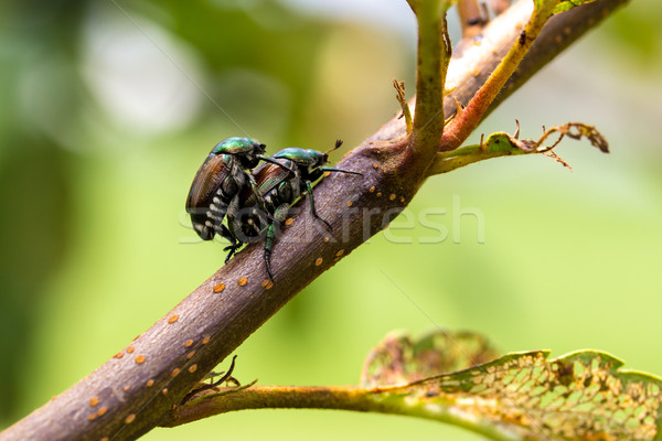 Japanese Beetles Popillia japonica Mating Stock photo © enterlinedesign
