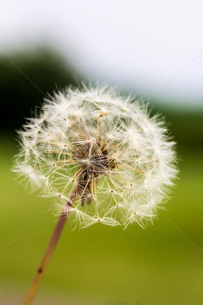 Dandelion Taraxacum Seed Head Stock photo © enterlinedesign