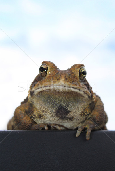 Toad at Rest Stock photo © enterlinedesign