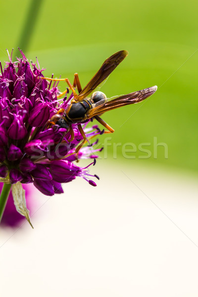 Drumstick Allium Flower Bloom and Wasp Stock photo © enterlinedesign