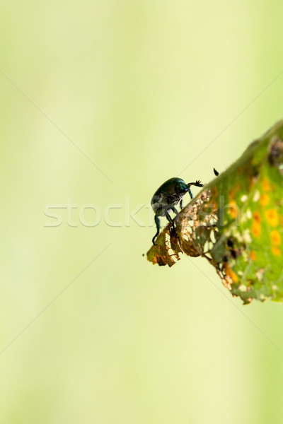 Stock photo: Japanese Beetle Popillia japonica on Leaf